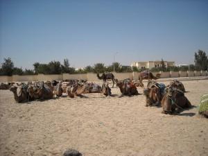 Una dintre experientele ce merita traite in tunisia este plimbarea cu camila in desert.