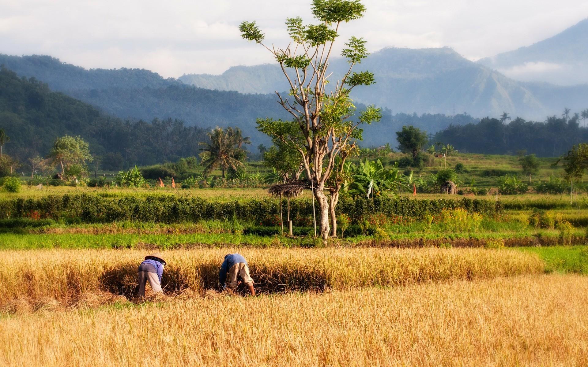 Cultura de orez din Bali, Indonezia