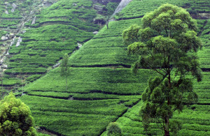Insula in forma de lacrima, Sri Lanka este o tara ce cucereste cuplurile in cautarea unei destinatii pentru luna de miere prin varietatea de atractii, precum plajele, natura sau cultura.