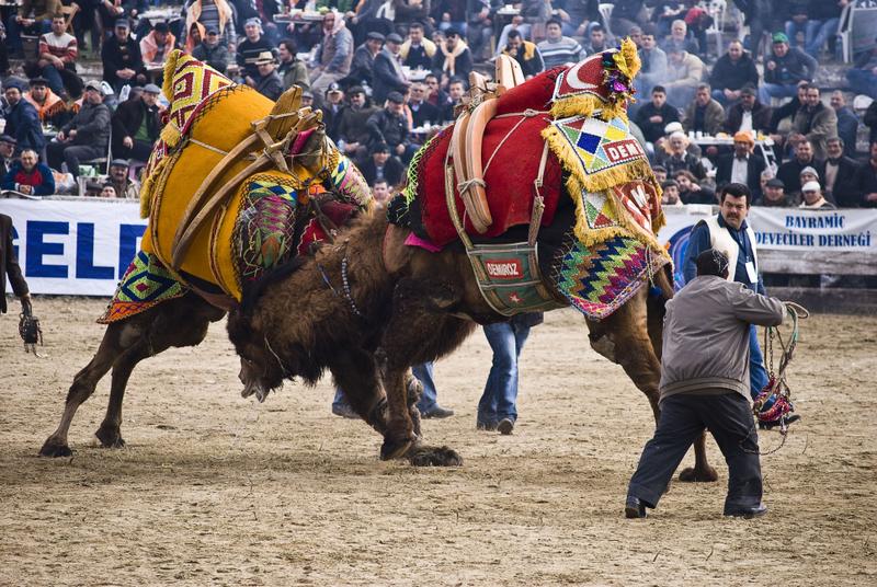 Festivalul de lupte cu camile din Turcia