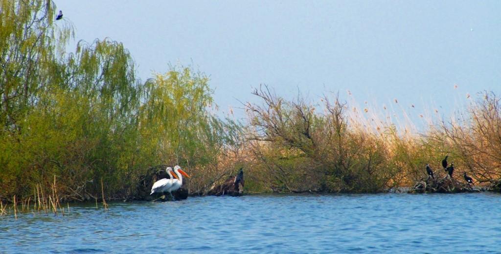 Pelican dalmatian si cormoran in Delta Dunarii