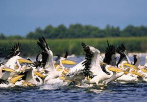 Pelicani in Delta Dunarii