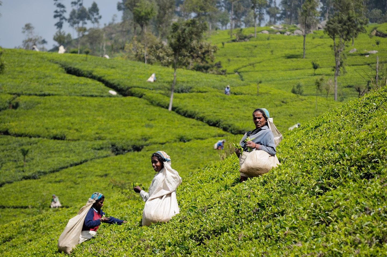 Femei pe o plantatie de ceai in Sri Lanka