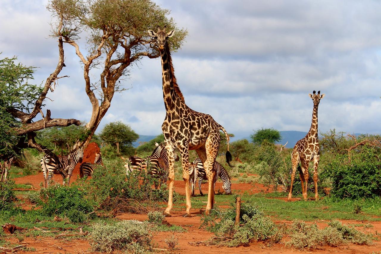 giraffe-2243784_1280