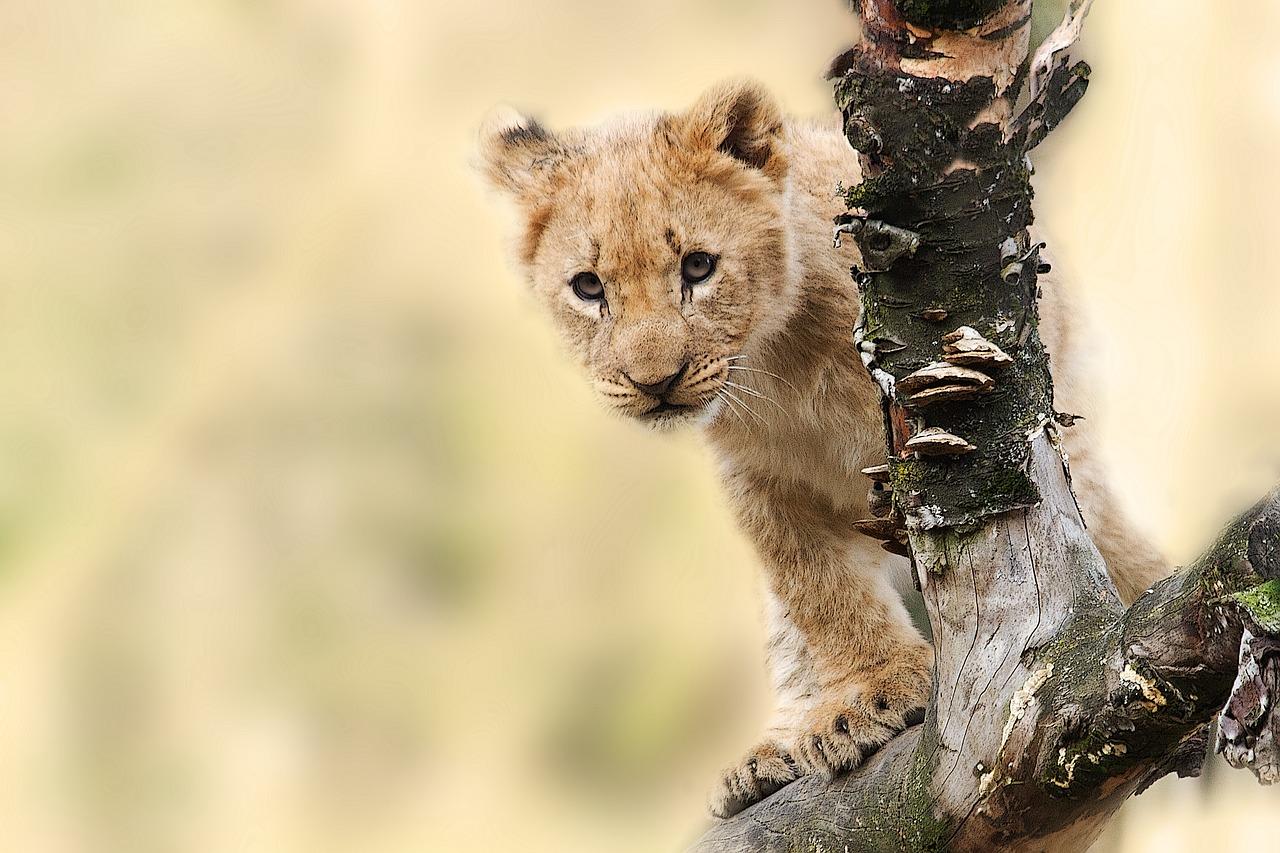 lion-565820_1280